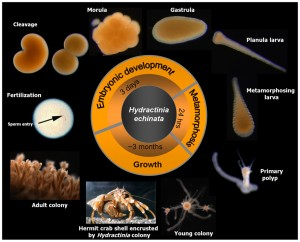 Hydractinia Life Cycle