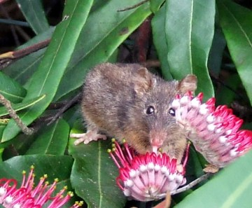 Honey Possum. Photo credit www.valleyofthegiantsecopark.biz