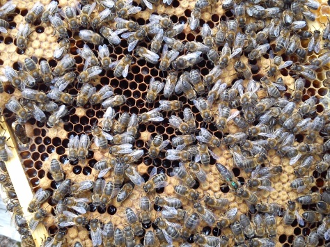 Native Irish honeybees Apis mellifera mellifera. Seen here is the queen (marked with green) and workers on a frame. (Photo credit: Linda Connor)