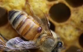 Varroa mite on bee (Photo credit: http://beesandchicks.wordpress.com/2010/04/16/bee-update-%E2%80%94-good-news-bad-news/)