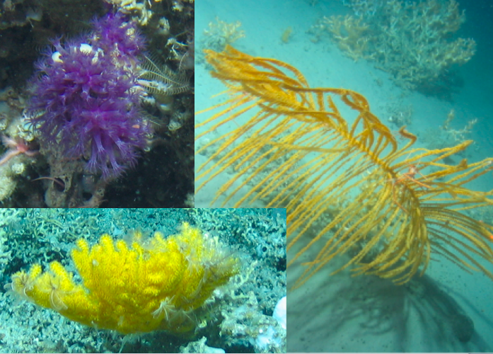 Right: a golden-coloured black coral.  They are called 'black' corals because their central 'stem' is often black.  For a closeup of this black coral species have a look at the video embedded at the end of this article.  Left: Two very different octocorals: one purple, one yellow.  They are called octocorals because each polyp has eight tentacles.  (Photos taken by NUI Galway, copyright Marine Institute.)