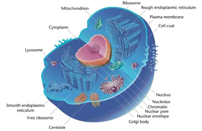 Figure 3: Eukaryotic cell organelles. (Photo source: http://health-pictures.com/cell/eukaryotic-cell.htm#.VBAL2_ldW0I)