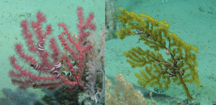 Left: Paragorgia the bubblegum coral, right: Paramuricea.  Both coral species are subjects of current USA:Ireland collaborative projects aiming to understand the connections between the eastern and western Atlantic through studying the corals' DNA.