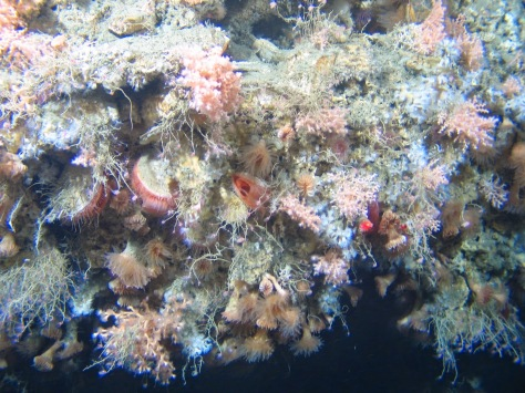 Red-fleshed file clams, deep-water oysters and cold-water corals on a vertical wall approximately 600 m deep in the Whittard Canyon.  (Photos taken by NUI Galway, copyright Marine Institute.)
