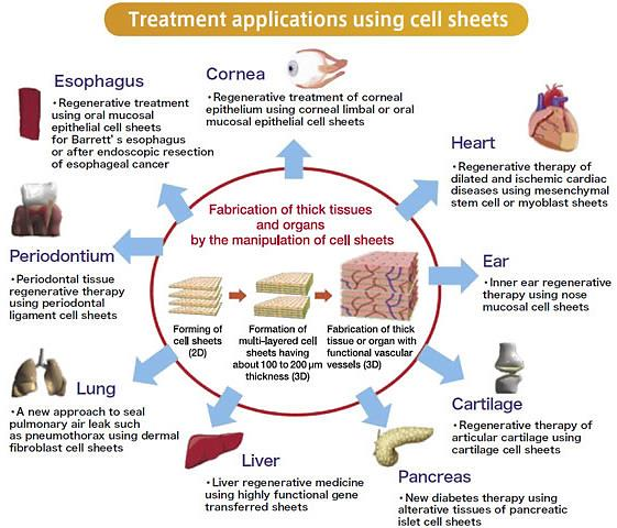 Applications of cell sheets (image credit: Tokyo Women's Medical University http://twins.twmu.ac.jp/first/en/technology_base.html)