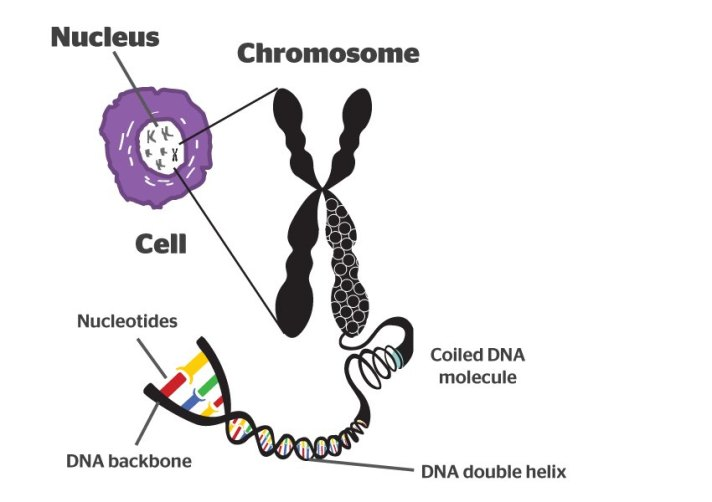 DNA is compacted into larger structures called chromosomes. This compaction is essential, as each cell contains approximately 2 metres of DNA! Image credit: https://sites.google.com/site/genomicssok/home