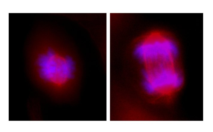 Microscopic images of cell division. Chromosomes are aligned and separated during cell division. In these images, the chromosomes are stained blue and the mitotic spindle, which separates the DNA into each of the new cells, is stained red. In the cell on the left, the chromosomes have begun to align along the centre of the cell in preparation for cell division. The cell on the right has begun to separate its replicated chromosomes into two new cells. (Image credit: Danielle Hamilton)